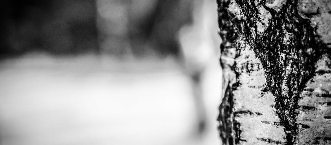 birch-tree-260831_1920
